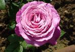 """Rosa di maggio - La rosa ibrida creata per la manifestazione """"Ville, giardini e rose"""" sulla Riviera del Brenta, sarà presentata il primo maggio a Villa Venier"""