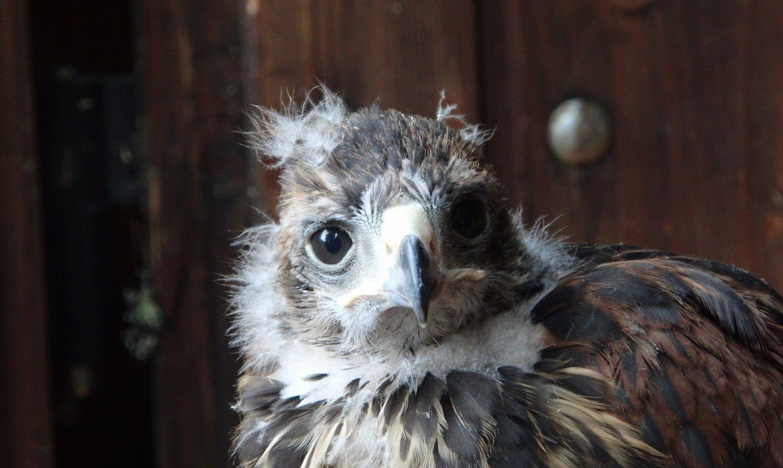 Il pulcino senza nome - Il pulcino di poiana Harris è uno dei rapaci di Fausto Menardi della Falconeria Dolomiti a Cortina d'Ampezzo. Sulla pagina Facebook di Cortina un sondaggio per la scelta del nome