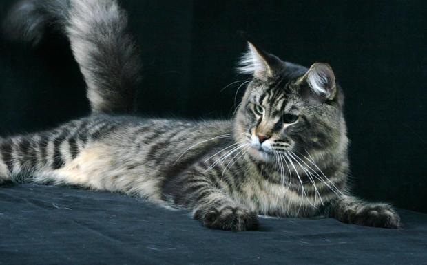 Vita da gatti...d'esposizione - Un esemplare di Maine Coon. Sabato 23 e domenica 24 a Longarone torna l'Expofelina. In mostra i gatti più belli del mondo
