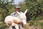Asinello Albino - È nato nell'azienda agricola Allegrini di Fumane (Verona) un asinello albino. Si tratta di un evento rarissimo. Nella foto, il cucciolo con un uomo della Forestale