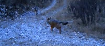 I lupi della Lessinia  Ecco il nuovo video