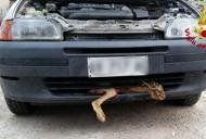 Investita da un'auto e incastratanel paraurti, lepre estratta viva
