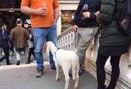 Vanno a Venezia a bere lo spritzcon un agnellino al guinzaglio