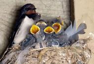 Le rondini fanno il nido nel cantiere Lavori anti alluvione fermi per 6 mesi