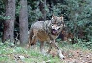 Il Veneto dichiara guerra ai lupiVia dal piano europeo che li protegge