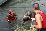 Mucca scivola nel Bacchiglione,recuperata dai vigili del fuoco | Foto