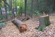 Belluno, insetto mangia-bosco la forestale abbatte gli alberi malati