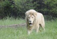 Verona, l'ultimo ruggito di BlancoMorto il leone bianco più vecchio d'Europa