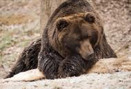 È in Veneto il figlio di Kj2,l'orsa uccisa  in Trentino
