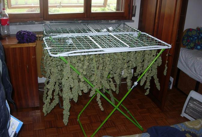 La marijuana sugli stendini corriere veneto - Costruire una serra in casa ...