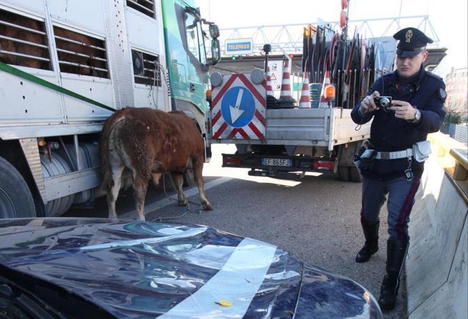 Verona. Toro scende da un camion al casello di Verona sud