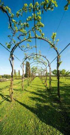 La viticoltura nel territorio veneziano del «Consorzio Vini Venezia», Torcello