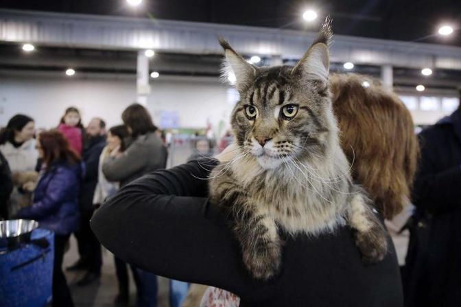 A padova i gatti pi belli del mondo corriere veneto for Fiera arredamento padova