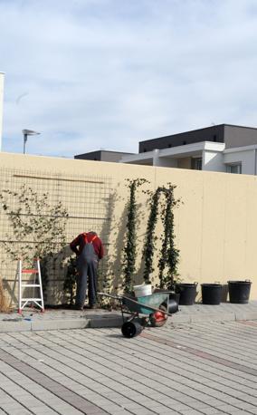 Giardinieri piantano rampicanti sul muro di borgo san Martino