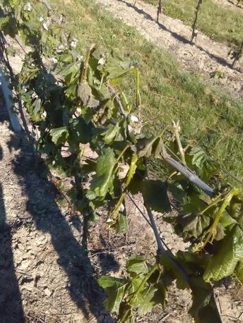 Danni alle viti nella zona di Gambellara
