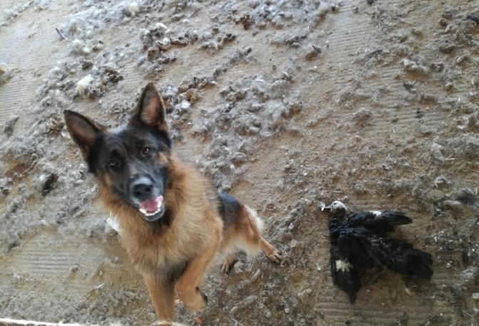 Uno dei cani sequestrati